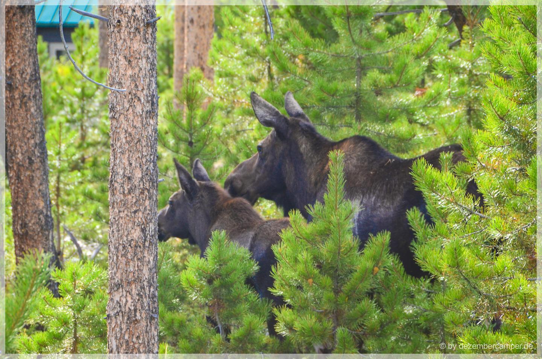 Rocky Mountain NP - Elche