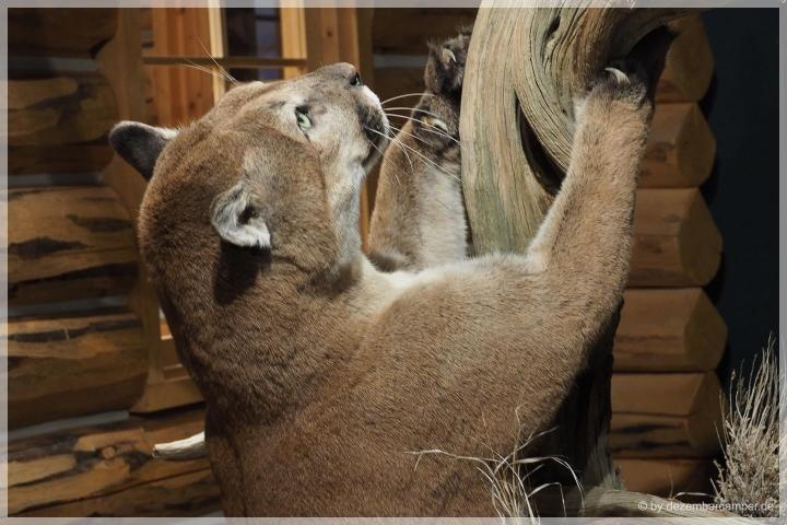 Unser erster Mountain Lion