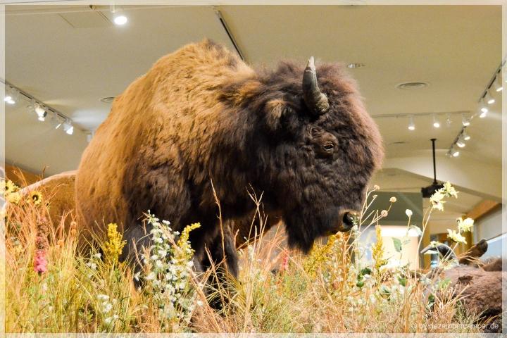 Museums-Büffel