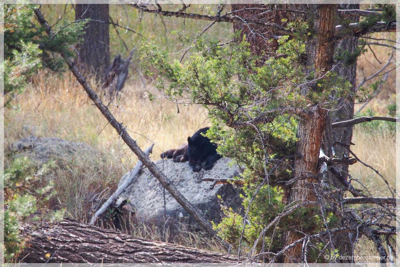 It's a black bear!
