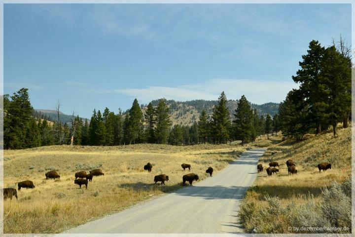 Yellowstone NP - Bisons