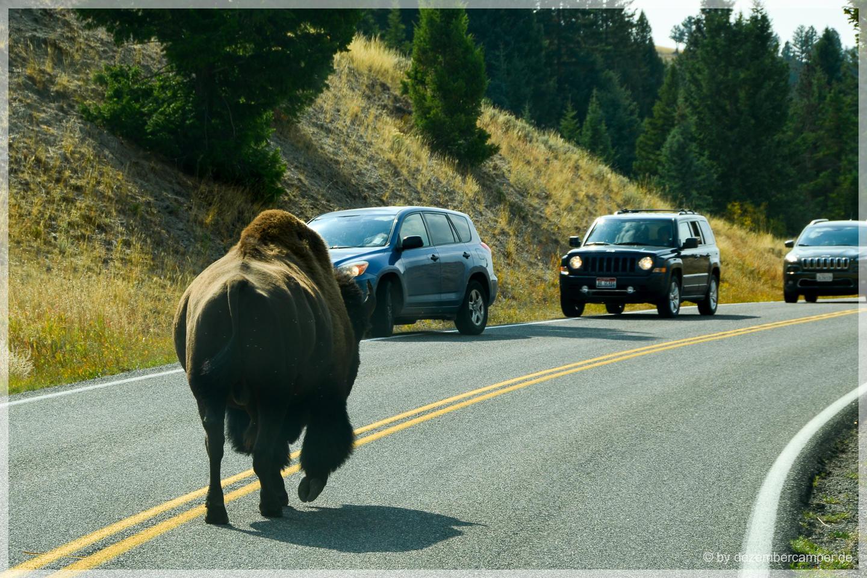 Yellowstone NP - wer hat Vorfahrt?