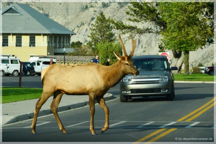 Yellowstone NP - tierische Vorfahrt