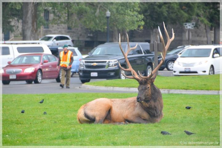 Yellowstone NP - Elks in Mammoth