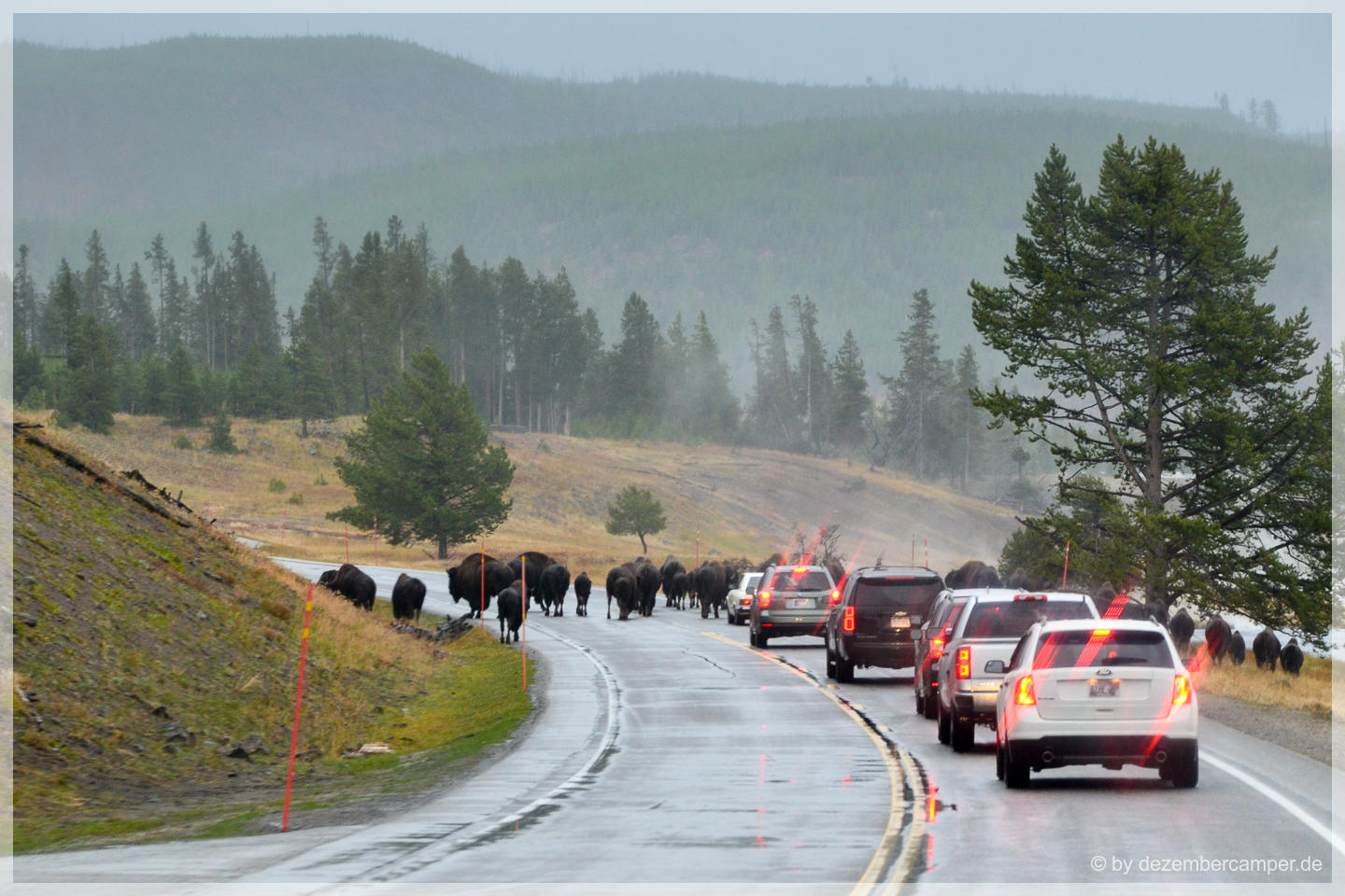 Yellowstone NP - Bisons on the road