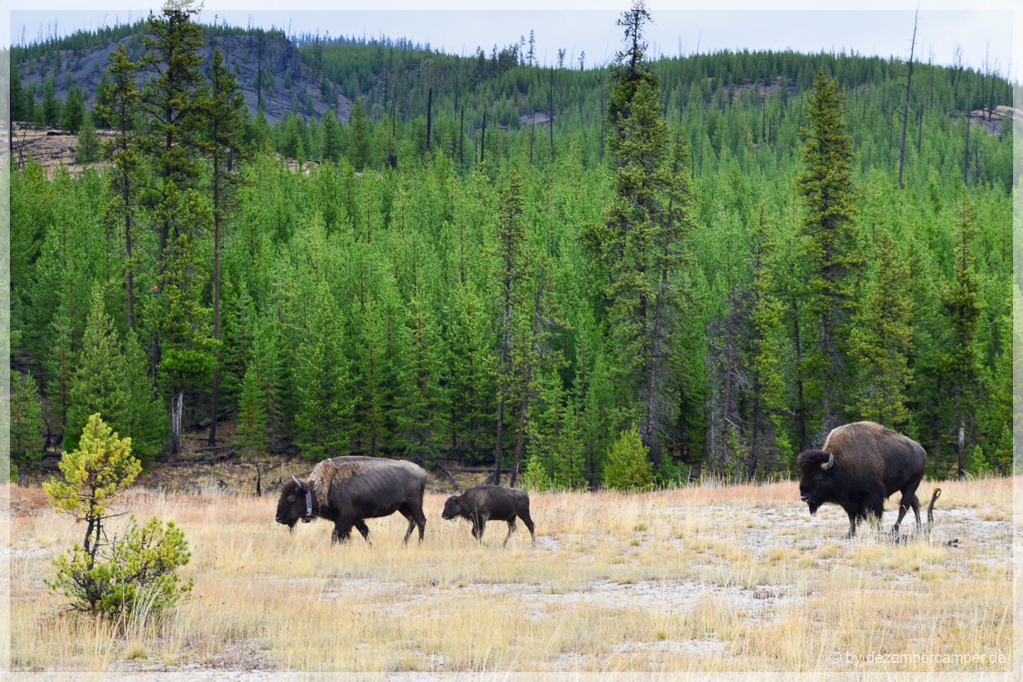 Yellowstone NP - Biscuit Basin Bisons