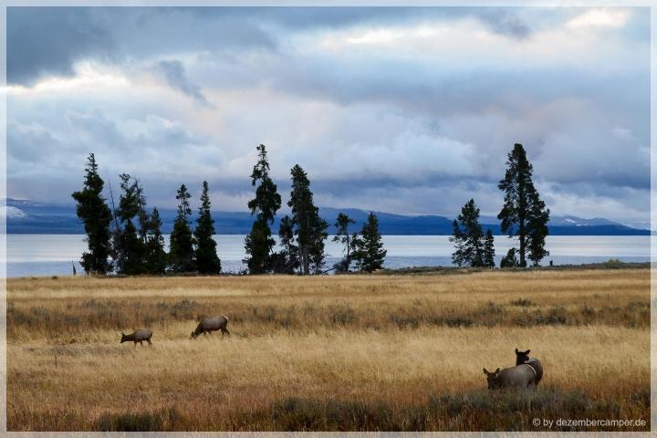 Yellowstone NP - Wapitis