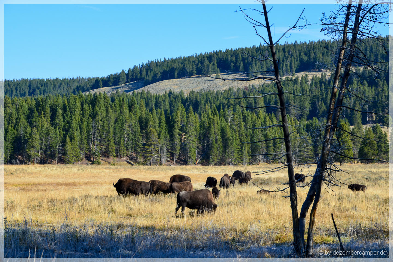 Yellowstone NP - Hayden Valley - Bisons