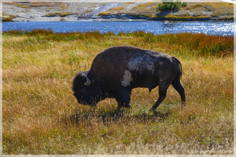 Yellowstone NP - Bison