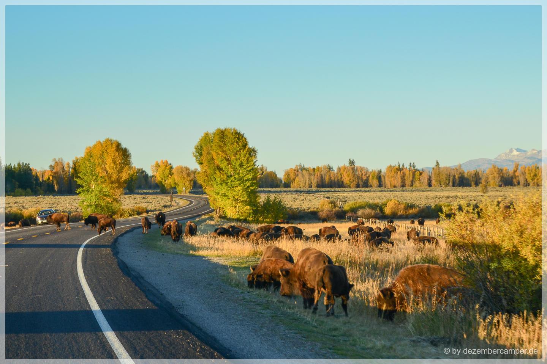 Grand Teton NP - Büffel