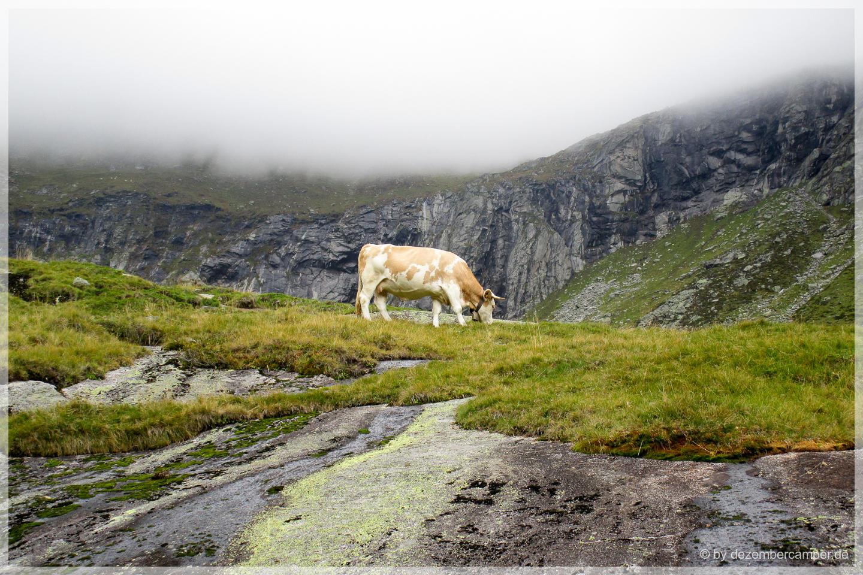 die mystische Kuh